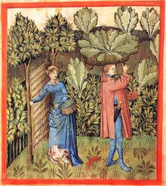 Flamsk illustrasjon fra 1400-tallet: Innhøsting av kål